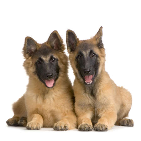 chien: couple of Puppy Belgian Tervuren in front of a white background and looking at the camera