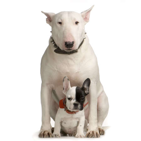 stocky: Bull Terrier sitting in front of a white background and looking at the camera