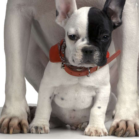 ugliness: french Bulldog between pit bulls paws Stock Photo