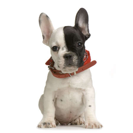 ugliness: french Bulldog sitting in front of white background and looking at the camera