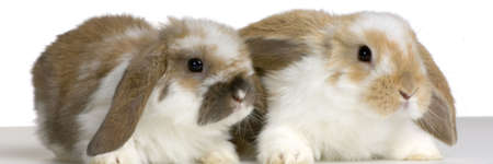 lop lop rabbit white: couple of Lop Rabbit in front of a white background