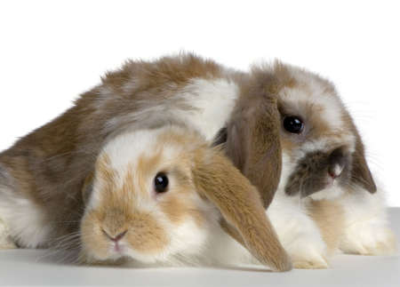 lop: couple of Lop Rabbit in front of a white background