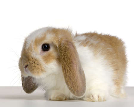 lop: close-up on a Lop Rabbit in front of a white background