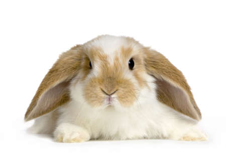 lop: close-up on a Lop Rabbit in front of a white background and looking at the camera Stock Photo
