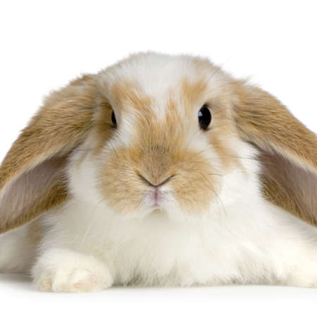 close-up on a Lop Rabbit in front of a white background and looking at the camera Stock Photo - 774293