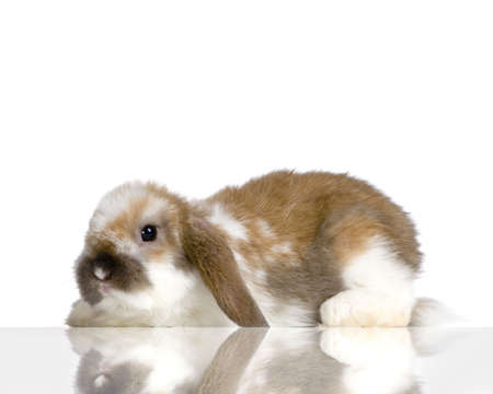 Lop Rabbit in front of a white background Stock Photo - 774291