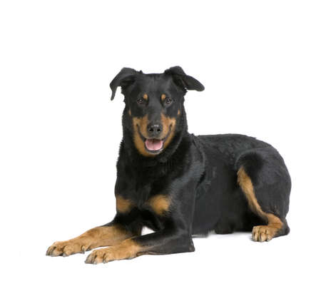 gardian: Beauceron lying down in front of a white background