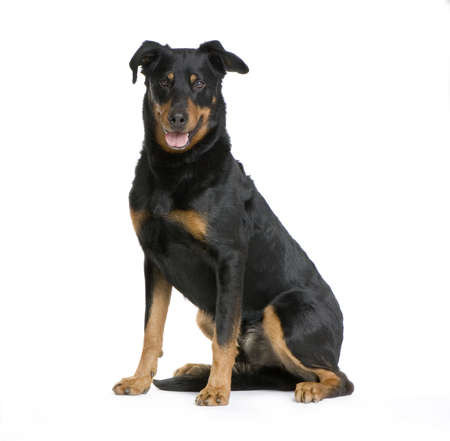 gardian: Beauceron sitting in front of a white background Stock Photo