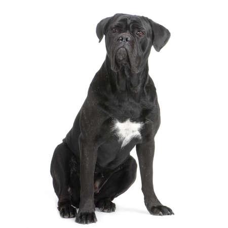 cane corso: Cane Corso nero, seduta di fronte a sfondo bianco  Archivio Fotografico