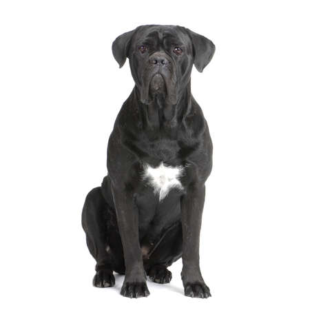 cane collars: Cane Corso black sitting in front of white background