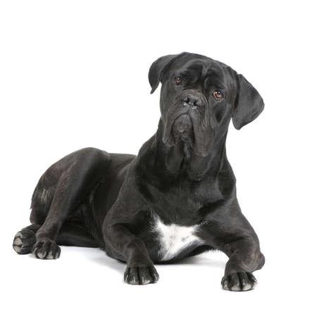 cane corso: Cane Corso nero coricato davanti a sfondo bianco