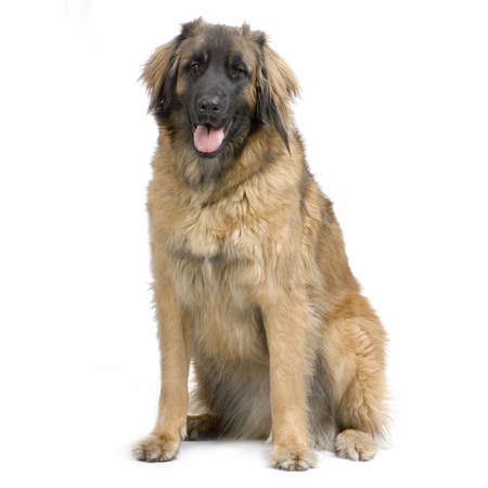 Leonberger sitting in front of white background