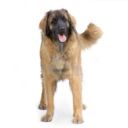 black giant mountain: Leonberger standing up in front of white background Stock Photo