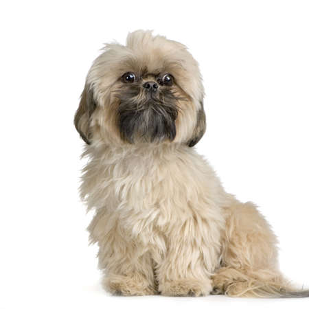 Shih Tzu in front of white background and facing the camera Stock Photo - 774276