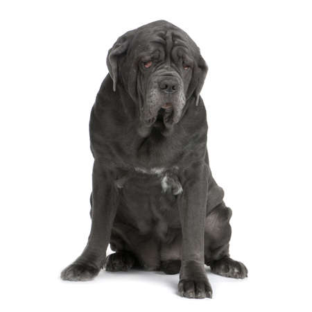 gardian: Mastiff sitting in front of a white background