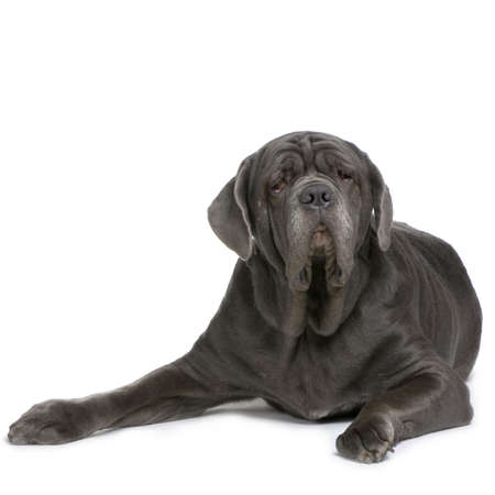 gardian: Mastiff lying down in front of a white background