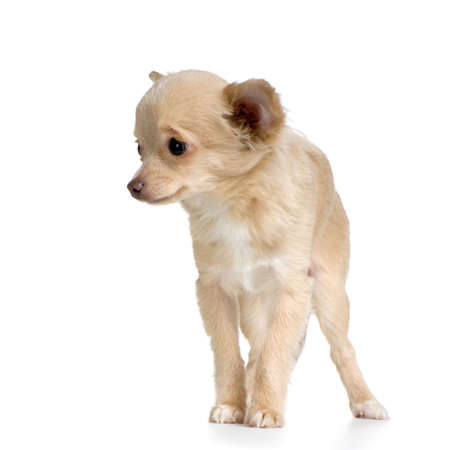 long haired chihuahua in front of white background photo