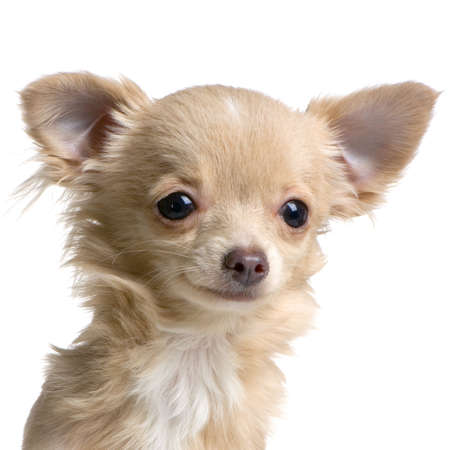 long haired chihuahua: close-up on a long haired chihuahua in front of white background Stock Photo