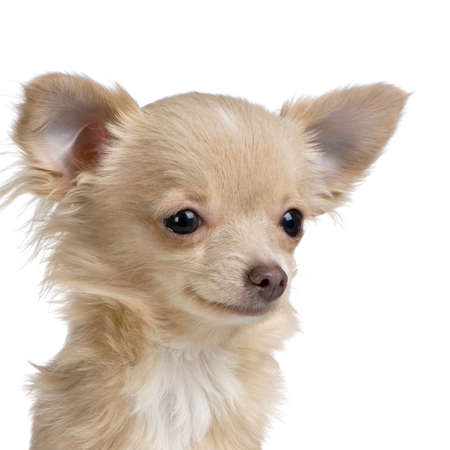 close-up on a long haired chihuahua in front of white background photo