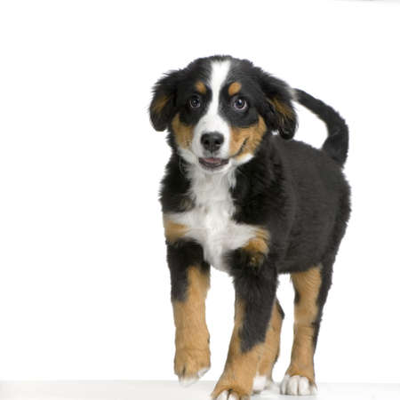 puppy Bernese mountain dog walking in front of white background