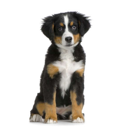 puppy Bernese mountain dog sitting in front of white background Stock Photo - 774258