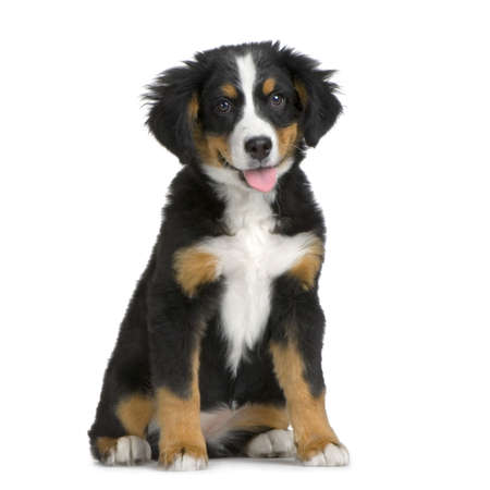 puppy Bernese mountain dog sitting in front of white background