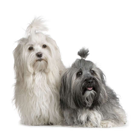 havanese: pair of Havanese dog in front of white background