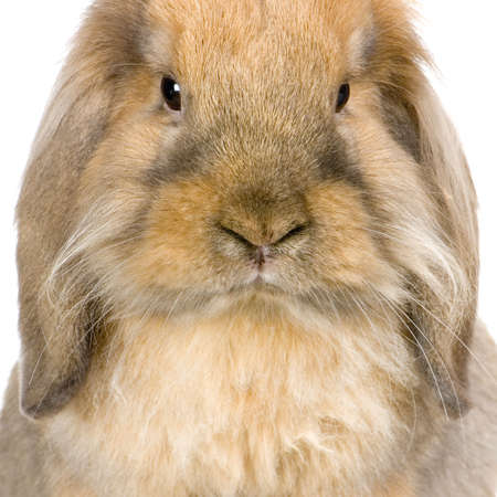 Lop Rabbit in front of a white background Stock Photo - 774256