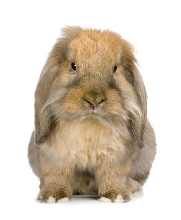 lop: Lop Rabbit in front of a white background