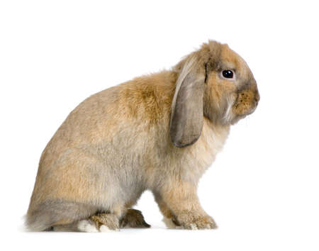 lop lop rabbit white: Lop Rabbit in front of a white background