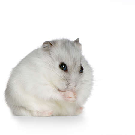 sneaky: Russian Hamster in front of a white background
