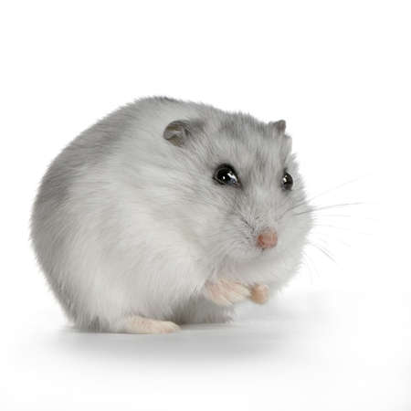russian hamster: Russian Hamster in front of a white background