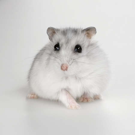 Russian Hamster in front of a white background photo