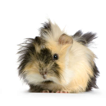 angora guinea pig against a white background Stock Photo