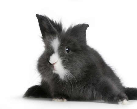 Zwerg Kaninchen vor einem weißen Hintergrund