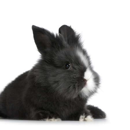 Zwerg Kaninchen vor einem weißen Hintergrund Standard-Bild