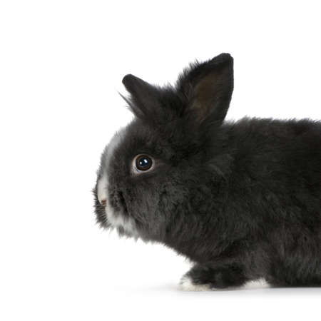 dwarf rabbit in front of a white background photo