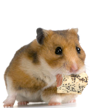 Hamster eating in front of a white background photo