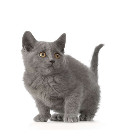 blue grey coat: Chartreux Kitten in front of a white background