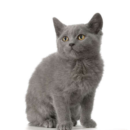blue grey coat: Chartreux Kitten sitting in front of a white background Stock Photo