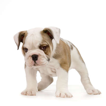 english Bulldog puppy in front of white background Stock Photo - 784167