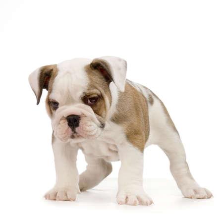 stitting: english Bulldog puppy in front of white background Stock Photo