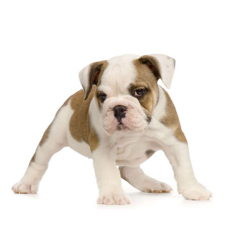 english Bulldog puppy in front of white background Stock Photo - 784166