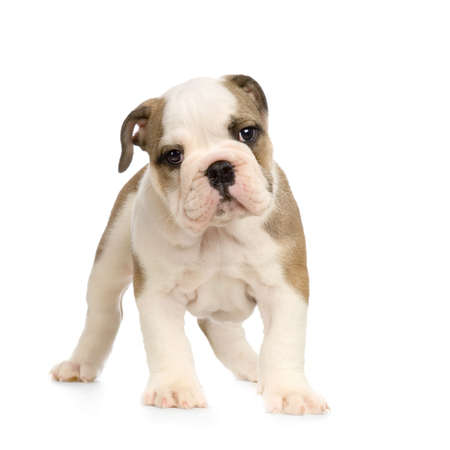 stitting: english Bulldog puppy in front of white background and looking at the camera