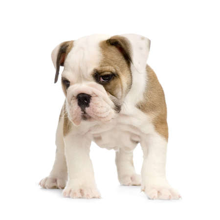 english Bulldog puppy in front of white background Stock Photo