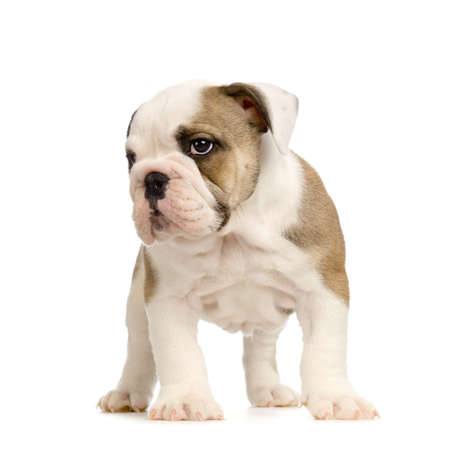 english Bulldog puppy in front of white background Stock Photo - 784163
