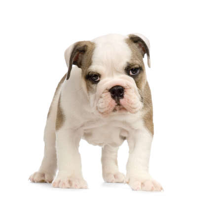 english Bulldog puppy in front of white background and looking at the camera photo