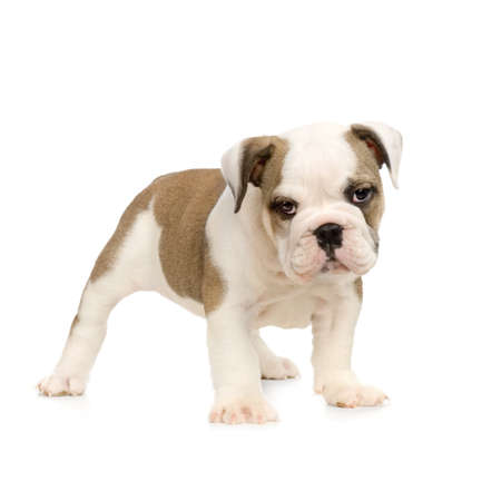 english Bulldog puppy in front of white background and looking at the camera Stock Photo - 784161