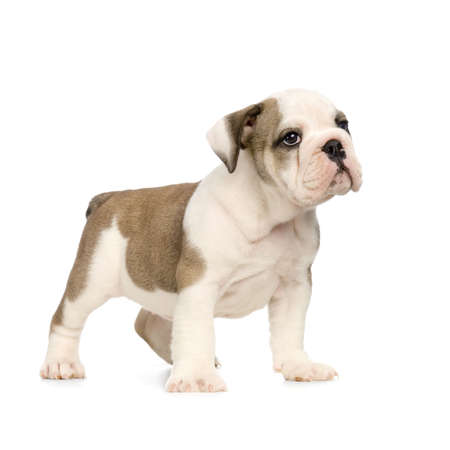 english Bulldog puppy in front of white background photo
