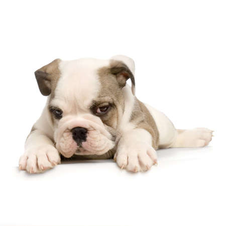 stitting: english Bulldog puppy lying down in front of white background